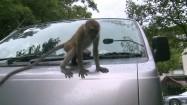 Małpa na samochodzie