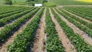 Plantacja truskawek