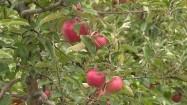 Zrywanie jabłek w sadzie